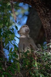 "Babouin chacma, Chacma baboon : Papio ursinus, - Location 17°54'51"" S 23°17'50"" E"
