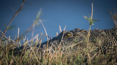 "Crocodile du Nil, Crocodylus niloticus, Nile crocodile - Location 17°50'27"" S 25°3'47"" E"