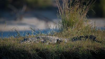 "Crocodile du Nil, Crocodylus niloticus, Nile crocodile - Location 17°50'28"" S 25°3'49"" E"