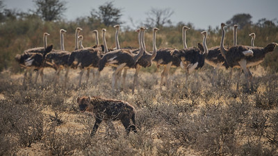 Hyena and ostriches