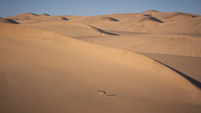 Jackal in the dunes