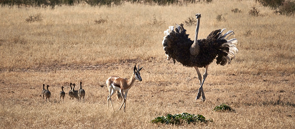 Ostrich protecting its youngs