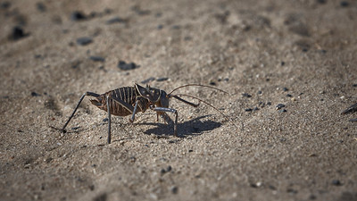 Armoured bush cricket