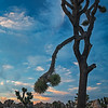 Joshua Tree Sunset II