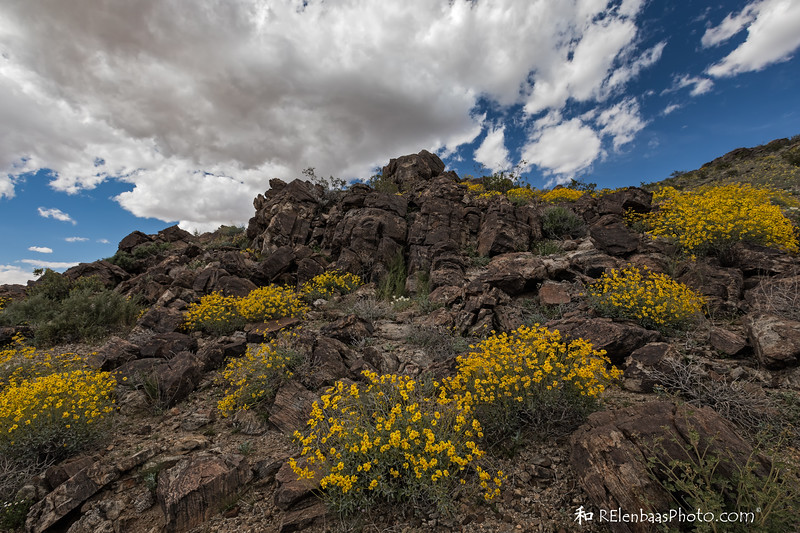 Beautiful Blooming Brittlebush