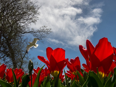 BIRD OVER TULIPS