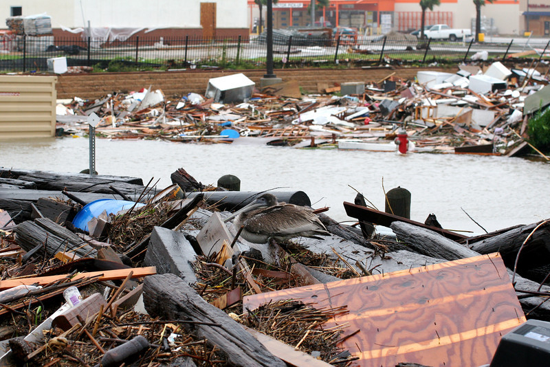 A pelican finds refuse in debris created by Hurricane Ike in Galveston Texas in 2008.