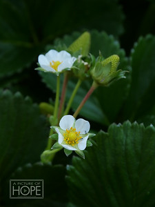 133-Strawberry BLossom