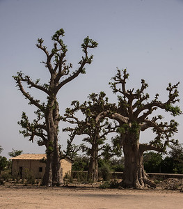 Baobob trees in Dakar, Senegal