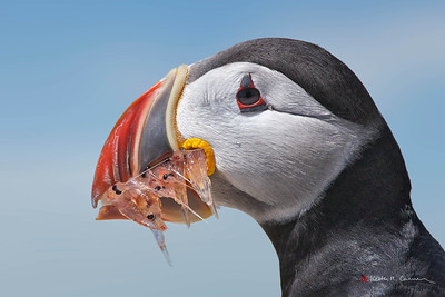 Atlantic Puffin with krill