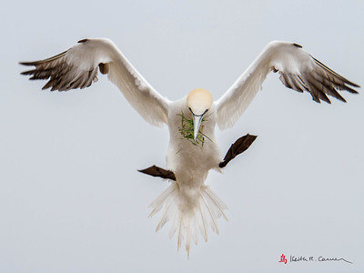 Northern Gannet with nesting grass