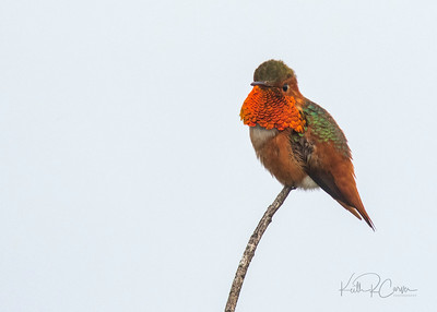 Allen's hummingbird, male