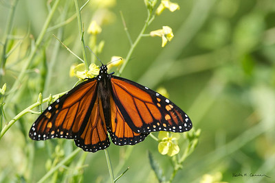 Monarch butterfly, male