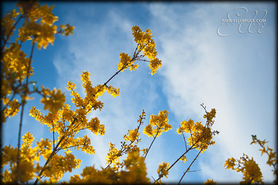 Forsythia burst into flower against a bright spring sky. April 2012 ©Elle Bruce