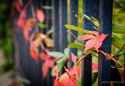 Virginia creeper embraces the wroght iron fence surounding the Erchless Estate. Taken by Elle Bruce on the 5th Annual World Wide Photowalk  Oakville, Ontario, Canada October 2012 ©Elle Bruce