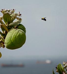 Bumblebee in Dakar, Senegal