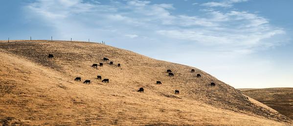 Cute Black Cows_0601