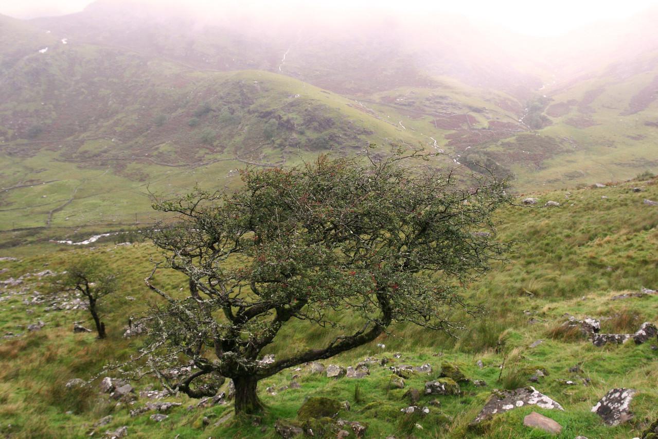 Snowdonia Tree