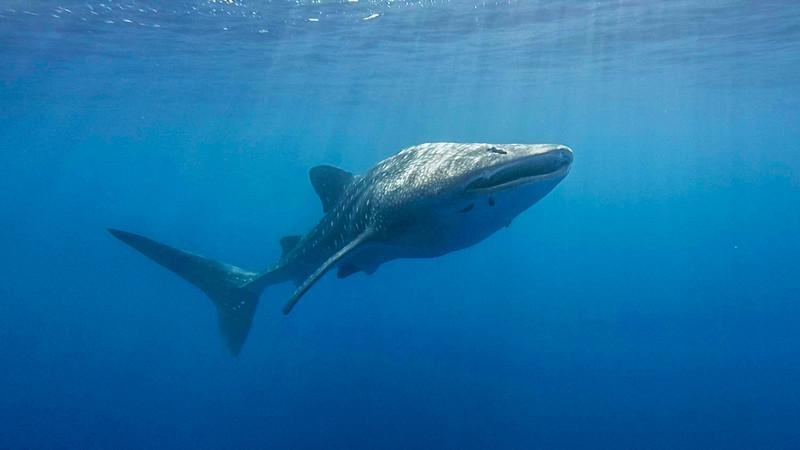 11-5-18 Whale Shark 00_02_06_17 Still005
