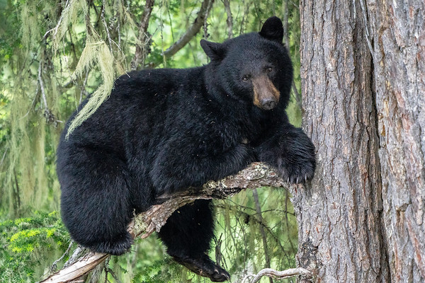 Mother (Sow) Black Bear - British Columbia, Canada
