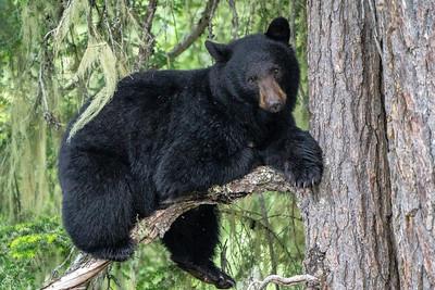 Mother (Sow) Black Bear - British Columbia, Canada