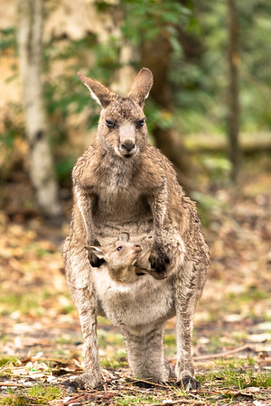 Eastern Grey Kangaroo & Joey - New South Wales, Australia