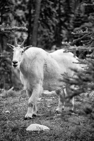 Mountain Goat -  Washington, USA