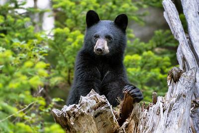 Black Bear Cub Of The Year - British Columbia, Canada