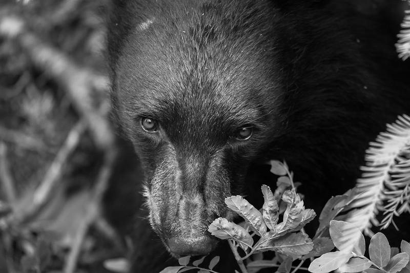 Juvenile Black Bear - British Columbia, Canada