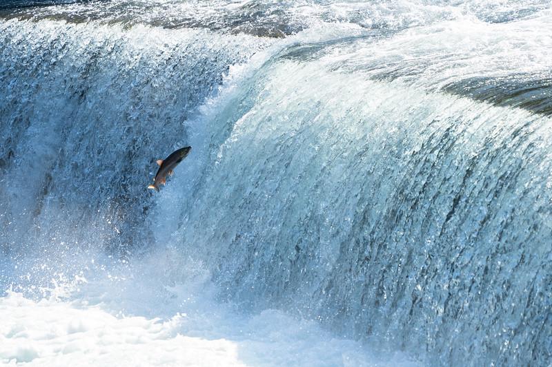 Sockeye Salmon - British Columbia, Canada