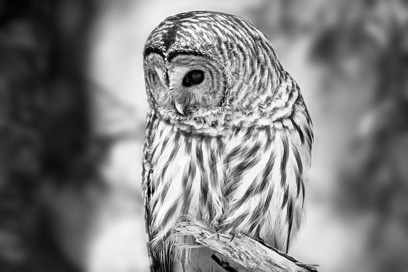 Barred Owl - British Columbia, Canada