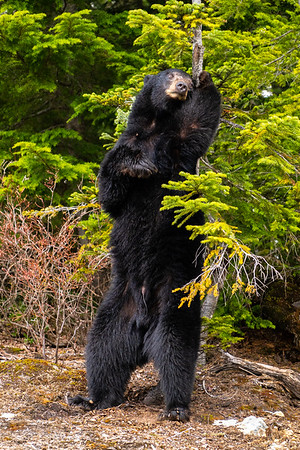 Male Black Bear - British Columbia, Canada