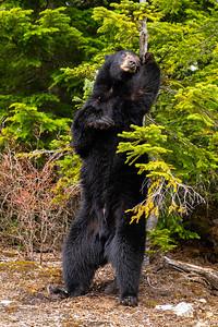 Male Black Bear - British Columbia, Canada