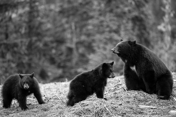 Black Bear Family - British Columbia, Canada