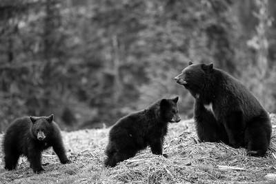 Black Bear Family - British Columbia, Canada