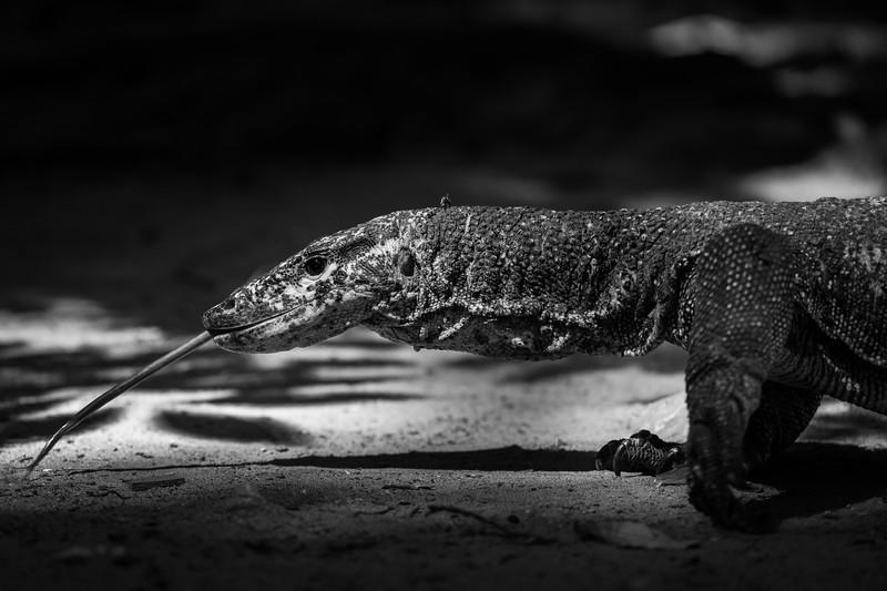 Water Monitor Lizard - Palawan, Philippines
