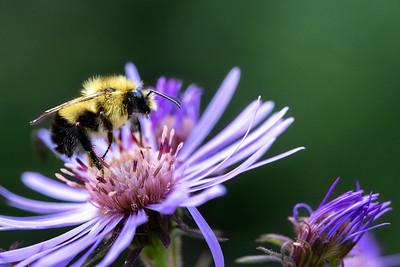 Bumble Bee - British Columbia, Canada