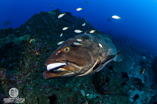 Longtooth Grouper