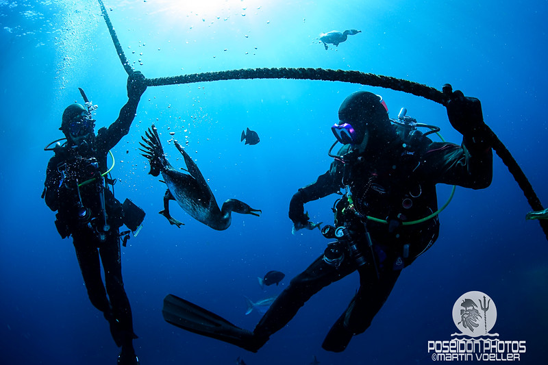 Cormorants Diving Underwater