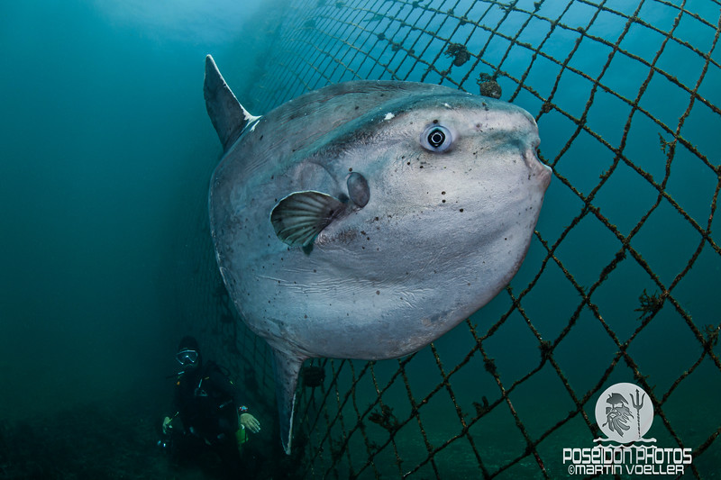 Ocean Sunfish and Diver