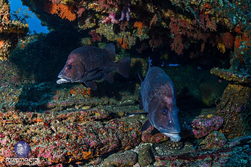 Pair of Bearded Grunt Fish