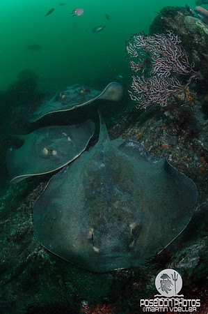 Group of Red Sting Rays
