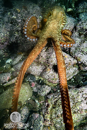 North Pacific Giant Octopus