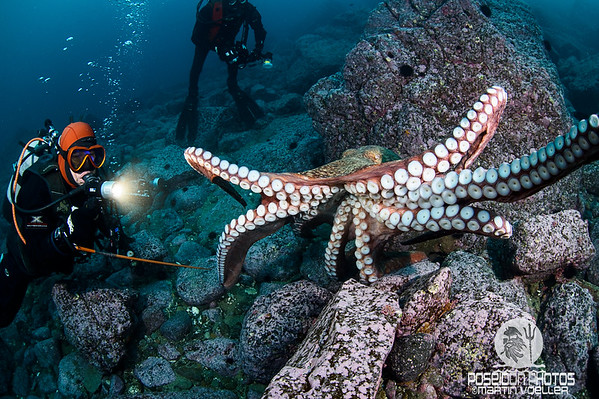 The North Pacific GIant Octopus Attacks!