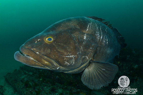 Long-tooth Grouper