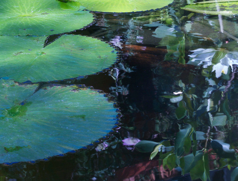 Water Lily Reflections, Botanical Garden, Puerto Vallarta