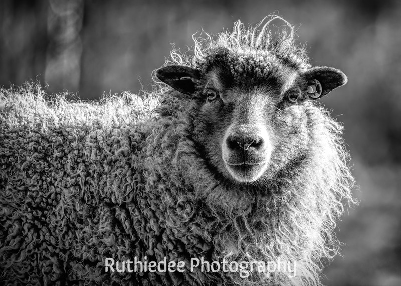 sheep face 10 X 14.jpg