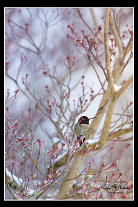 hummingbirdsnow