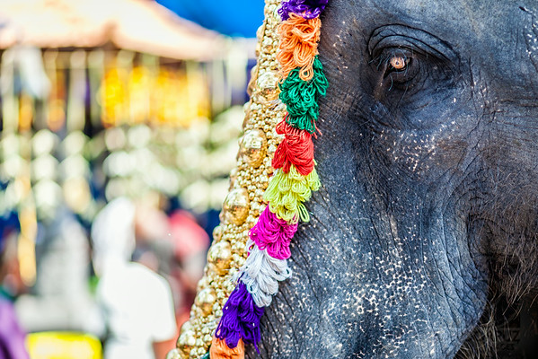 ELEPHANT - Cochin, India