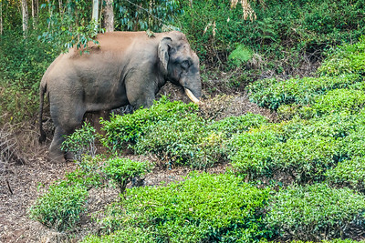 WILD ELEPHANT - Munnar, India  Wild elephant!!!!  This is an un-cropped shot and was not taken at a wildlife reserve.